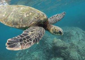 green sea turtle swimming towards camera
